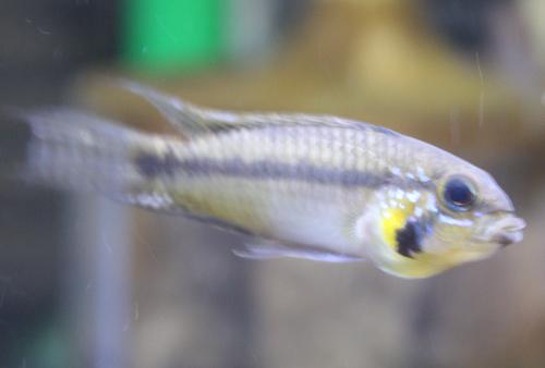 アピストグラマ スタエキー 東海 岐阜 熱帯魚 水草 観葉植物販売 Grow aquarium