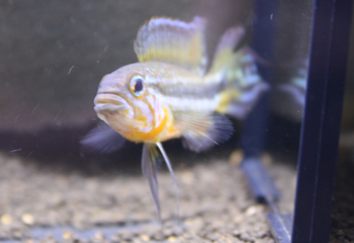 アピストグラマ メンデジー リオ アイワナ 東海 岐阜 熱帯魚 水草 観葉植物販売 Grow aquarium