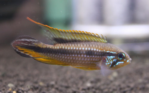 アピストグラマ アガシジィー アッパーテフェムトン 東海 岐阜 熱帯魚 水草 観葉植物販売 Grow aquarium