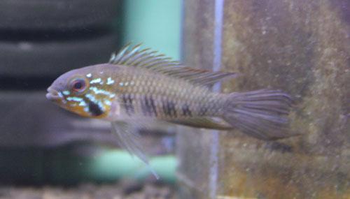 アピストグラマ ギピケプス 東海 岐阜 熱帯魚 水草 観葉植物販売 Grow aquarium
