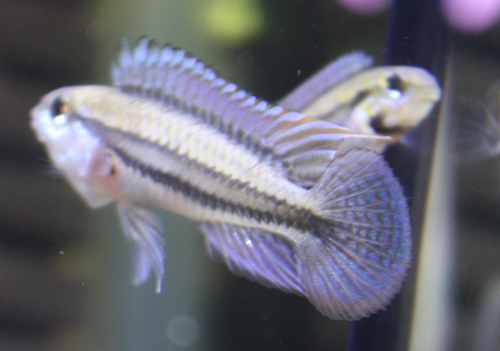 アピストグラマ ディプロタエニア バルセロス 東海 岐阜 熱帯魚 水草 観葉植物販売 Grow aquarium