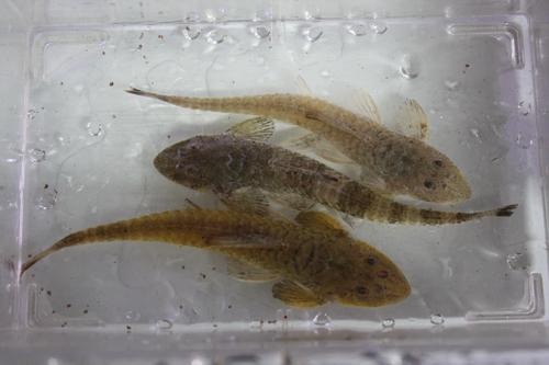 サボテンロリカリア 東海 岐阜 熱帯魚 水草 観葉植物販売 Grow aquarium