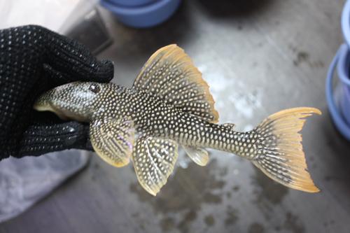 ゴールドエッジマグナム 東海 岐阜 熱帯魚 水草 観葉植物販売 Grow aquarium