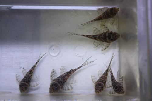 キングロイヤルペコルティア特価! 東海 岐阜 熱帯魚 水草 観葉植物販売 Grow aquarium