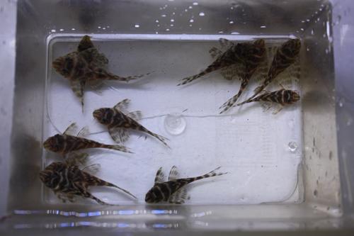 アレンカーゴールデンキングロイヤル特価! 東海 岐阜 熱帯魚 水草 観葉植物販売 Grow aquarium