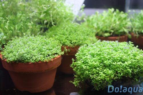 キューバパールグラス東海 岐阜 熱帯魚 水草 観葉植物販売 Grow aquarium