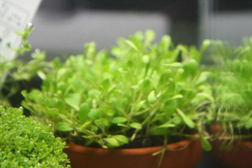 グロッソスティグマ東海 岐阜 熱帯魚 水草 観葉植物販売 Grow aquarium