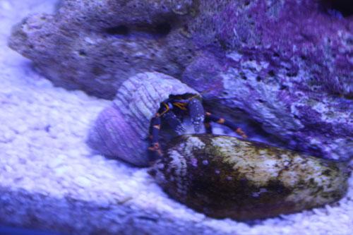 ユビワサンゴヤドカリオレンジ 東海 岐阜 熱帯魚 水草 観葉植物販売 Grow aquarium