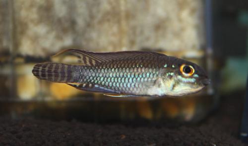 アピストグラマ ペルテンシス 東海 岐阜 熱帯魚 水草 観葉植物販売 Grow aquarium