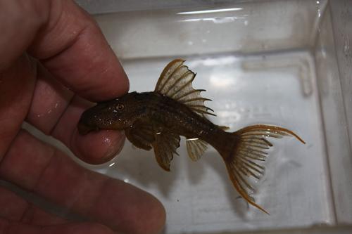 スカーレットトリムプレコ東海 岐阜 熱帯魚 水草 観葉植物販売 Grow aquarium