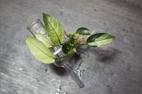 アヌビアス バルテリー マーブル 東海 岐阜 熱帯魚 水草 観葉植物販売 Grow aquarium
