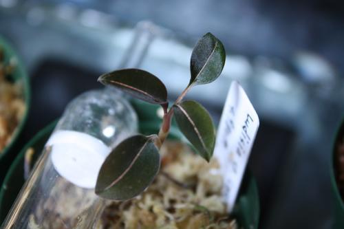 ルディシアsp.ラオス 東海 岐阜 熱帯魚 水草 観葉植物販売 Grow aquarium