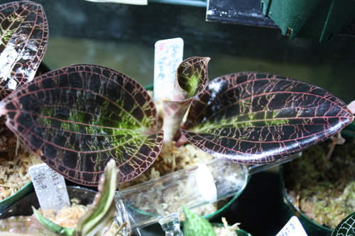 ドッシニア マルモラータ 東海 岐阜 熱帯魚 水草 観葉植物販売 Grow aquarium