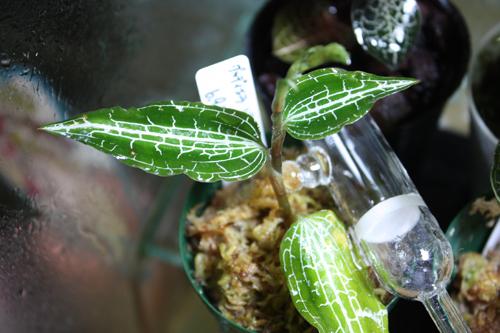 グッディエラ レティキュラータ 東海 岐阜 熱帯魚 水草 観葉植物販売 Grow aquarium