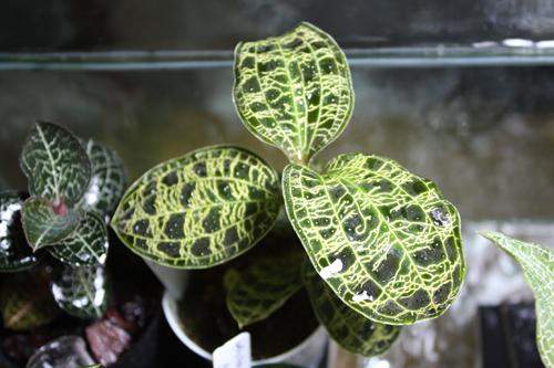 マコデス ペトラ 東海 岐阜 熱帯魚 水草 観葉植物販売 Grow aquarium