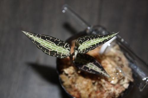 グッディエラ プッシーラ 東海 岐阜 熱帯魚 水草 観葉植物販売 Grow aquarium