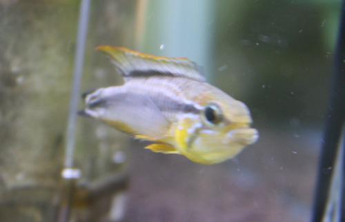 アピストグラマ アガシジー ボルバ 東海 岐阜 熱帯魚 水草 観葉植物販売 Grow aquarium