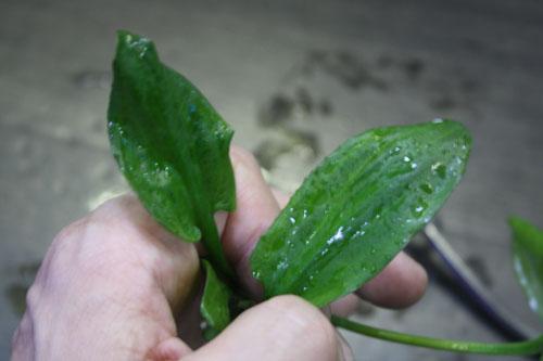 クリプトコリネ デウィティ 東海 岐阜 熱帯魚 水草 観葉植物販売 Grow aquarium