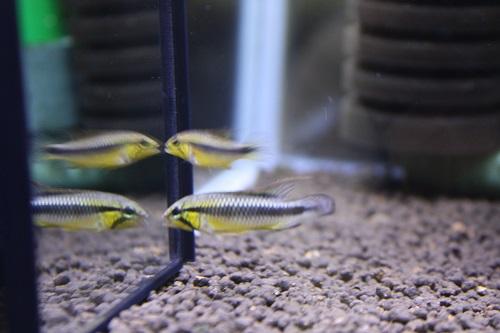 アピストグラマ ウィルヘルミー アバカシス 東海 岐阜 熱帯魚 水草 観葉植物販売 Grow aquarium