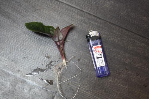 スキスマトグロッテイスsp. メタリカ 東海 岐阜 熱帯魚 水草 観葉植物販売 Grow aquarium
