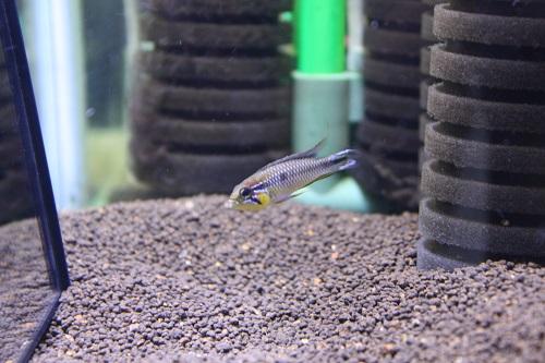 アピストグラマ アガシジィ イガポーアスー A-class 東海 岐阜 熱帯魚 水草 観葉植物販売 Grow aquarium