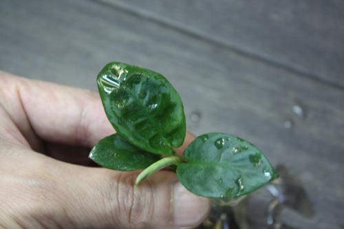スキスマトグロッティスsp. バウ 東海 岐阜 熱帯魚 水草 観葉植物販売 Grow aquarium