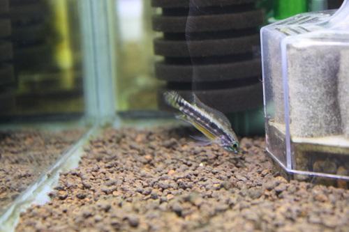 アピストグラマ イエローミウア リオネグロ水系支流 東海 岐阜 熱帯魚 水草 観葉植物販売 Grow aquarium