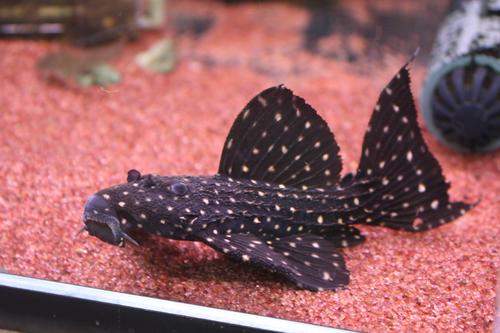 アレンカーキングオブギャラクシー極上 東海 岐阜 熱帯魚 水草 観葉植物販売 Grow aquarium