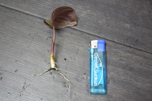 ホマロメナsp.ティータイム ロクサド 東海 岐阜 熱帯魚 水草 観葉植物販売 Grow aquarium
