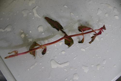 アルテルナンテラレインキーALEX 東海 岐阜 熱帯魚 水草 観葉植物販売 Grow aquarium