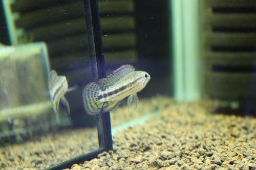 アピストグラマ イエローミウア 東海 岐阜 熱帯魚 水草 観葉植物販売 Grow aquarium