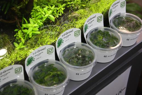 スタロウギネ 東海 岐阜 熱帯魚 水草 観葉植物販売 Grow aquarium