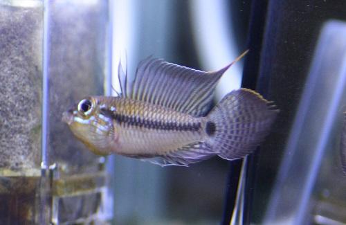アピストグラマ ペルテンシス スペードテール 東海 岐阜 熱帯魚 水草 観葉植物販売 Grow aquarium