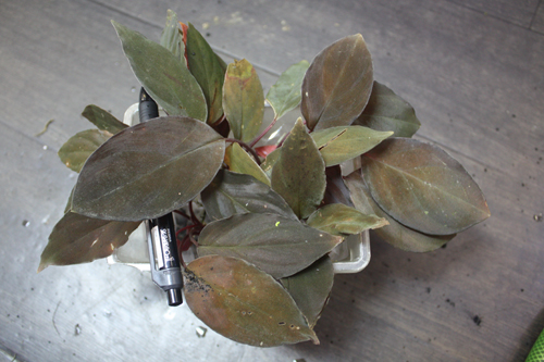 Homalomena sp. 東海 岐阜 熱帯魚 水草 観葉植物販売 Grow aquarium