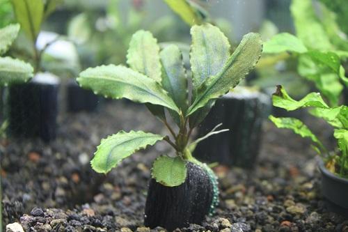 ブセファランドラsp.D 東海 岐阜 熱帯魚 水草 観葉植物販売 Grow aquarium