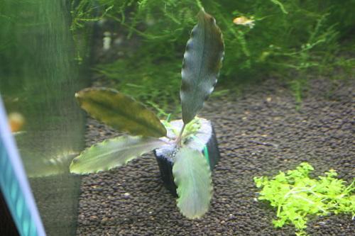 ブセファランドラsp.ウリッセス 東海 岐阜 熱帯魚 水草 観葉植物販売 Grow aquarium