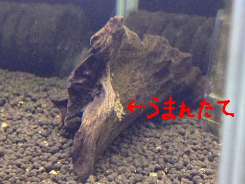 タエニアカラ カンディディ稚魚 東海 岐阜 熱帯魚 水草 観葉植物販売 Grow aquarium