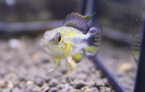アピストグラマ アガシジィ カレイロ 東海 岐阜 熱帯魚 水草 観葉植物販売 Grow aquarium