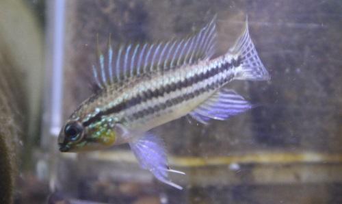 アピストグラマ ビタエニアータ ラーゴパラクーバⅡ 東海 岐阜 熱帯魚 水草 観葉植物販売 Grow aquarium