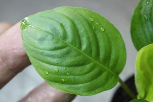 Ooia sp. イーストカリマンタン 東海 岐阜 熱帯魚 水草 観葉植物販売 Grow aquarium
