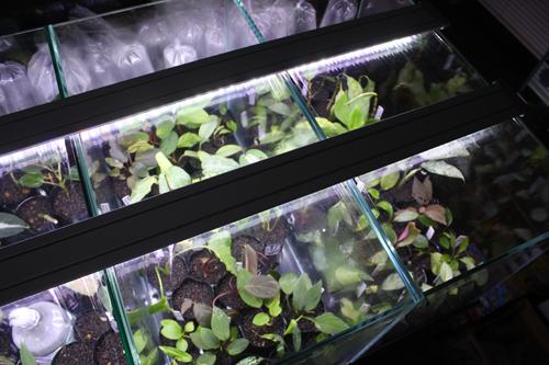 kn便 アグラ以外の子 東海 岐阜 熱帯魚 水草 観葉植物販売 Grow aquarium