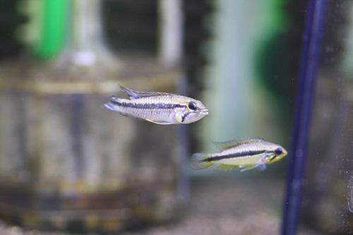 アピストグラマ アガシジィ テフェノゲイラ ブルー 東海 岐阜 熱帯魚 水草 観葉植物販売 Grow aquarium