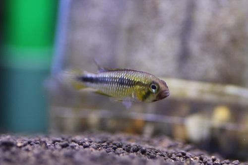 アピストグラマ イエロープルクラ 東海 岐阜 熱帯魚 水草 観葉植物販売 Grow aquarium