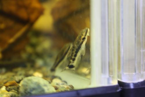 オトシンクルス 東海 岐阜 熱帯魚 水草 観葉植物販売 Grow aquarium