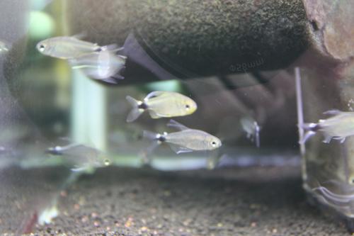 テトラオーロ 東海 岐阜 熱帯魚 水草 観葉植物販売 Grow aquarium