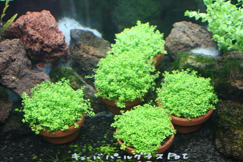 キューバパールグラス 東海 岐阜 熱帯魚 水草 観葉植物販売 Grow aquarium