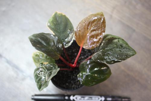 レッドベルベットリンガ 東海 岐阜 熱帯魚 水草 観葉植物販売 Grow aquarium