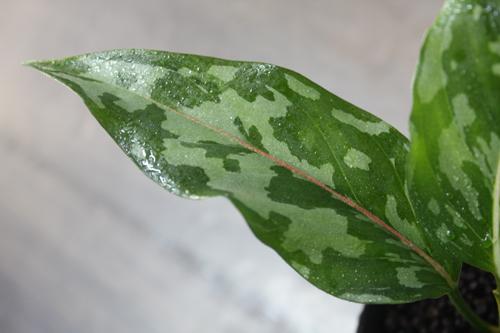 アグラオネマ バイカラー東海 岐阜 熱帯魚 水草 観葉植物販売 Grow aquarium