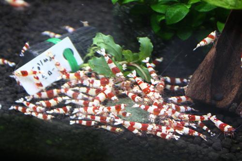 レッドビーシュリンプ 東海 岐阜 熱帯魚 水草 観葉植物販売 Grow aquarium