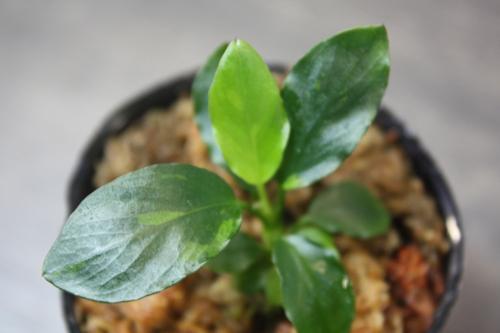 アヌビアス ローライン 東海 岐阜 熱帯魚 水草 観葉植物販売 Grow aquarium